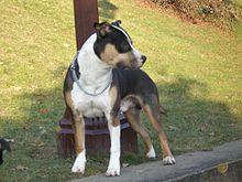 ... americký stafordšírský teriér. American Stafforshire Terrier.jpg 46f1a4720fb