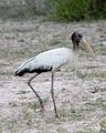 American woodstork IB - Flickr - Lip Kee.jpg