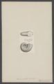 Ammonites ornatus - - Print - Iconographia Zoologica - Special Collections University of Amsterdam - UBAINV0274 005 10 0012.tif