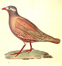 Ammoperdix heyi male 1838.jpg