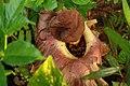 Amorphophallus Paeoniifolius l.jpg