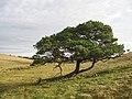 An Aucharroch Wood survivor - geograph.org.uk - 605335.jpg