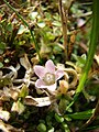 Anagallis tenella flower (1).jpg