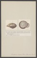 Anastoma - Print - Iconographia Zoologica - Special Collections University of Amsterdam - UBAINV0274 005 03 0042.tif
