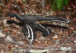 Anchiornis BW.jpg