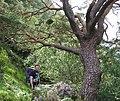 Ancient Caledonian pine - geograph.org.uk - 189560.jpg