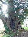 Ancient yew, Llansilin churchyard - geograph.org.uk - 975535.jpg