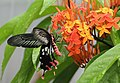 Andaman24 Andaman Clubtail (7999777716).jpg