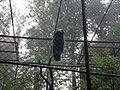 Andean Condor (7822217734).jpg