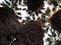 Andreas Palm Canopy.jpg
