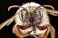 Andrena erythronii f face.jpg