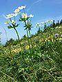 Anemonastrum narcissiflorum sl6.jpg