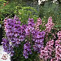 Angelonia angustifolia public domain IMG 5105.jpg