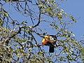 Animais serra da canastra tucano IMG 4432.jpg