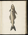 Animal drawings collected by Felix Platter, p1 - (64).jpg