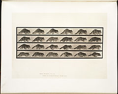 Animal locomotion. Plate 744 (Boston Public Library).jpg