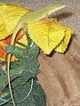 Anolis carolinensis, Yumi1.jpg