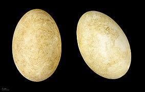 Anser caerulescens MHNT.ZOO.2010.11.15.1.jpg