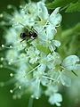Ant on Sweet Cicely (5673569204).jpg