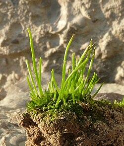 Anthoceros agrestis 060910c.jpg