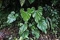 Anthurium versicolor var. versicolor (Araceae) (49831064446).jpg
