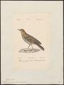 Anthus cervinus - 1842-1848 - Print - Iconographia Zoologica - Special Collections University of Amsterdam - UBA01 IZ16300161.tif