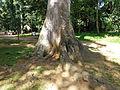 Antiaris toxicaria-Jardin botanique de Kandy (4).jpg