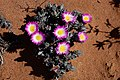 Antimima ventricosa = Ruschia ventricosa (Aizoaceae) (37451947166).jpg