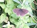 Aphantopus hyperantus - Wzwz butterfly f1.jpg