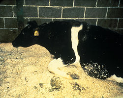 Classic image of a cow with BSE. A notable feature of such disease is the inability of the infected animal to stand.  Source: APHIS