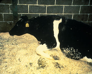 Image of a cow with BSE. A feature of such dis...