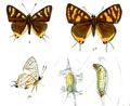 AphnaeusVulcanus 733 1 Knight.png
