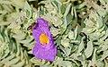 Apis mellifera on Cistus albidus 04.jpg