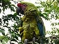 Ara macaw militaris.jpg