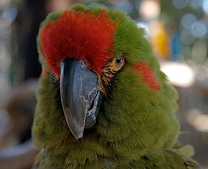 Red-fronted macaw - Image: Ara rubrogenys head 6