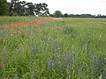 Arable field margin at Bodney, Norfolk - geograph.org.uk - 358522.jpg