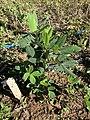 Arachis paraguarensis 7568.jpg