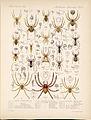Arachnida Araneidea Vol 1 Table 8.jpg