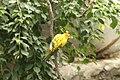 Aratinga solstitialis -Baltimore Aquarium-6a.jpg