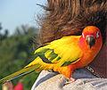 Aratinga solstitialis -pet on shoulder-8a.jpg