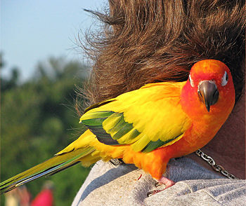 A pet Sun Parakeet (also known as Sun Conure) ...