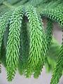 Araucaria heterophylla 12 by Line1.JPG