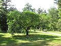 Arboretum des barres--aesculus californica nutt--pavier de californie.JPG