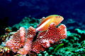 Arc-eye hawkfish.jpg