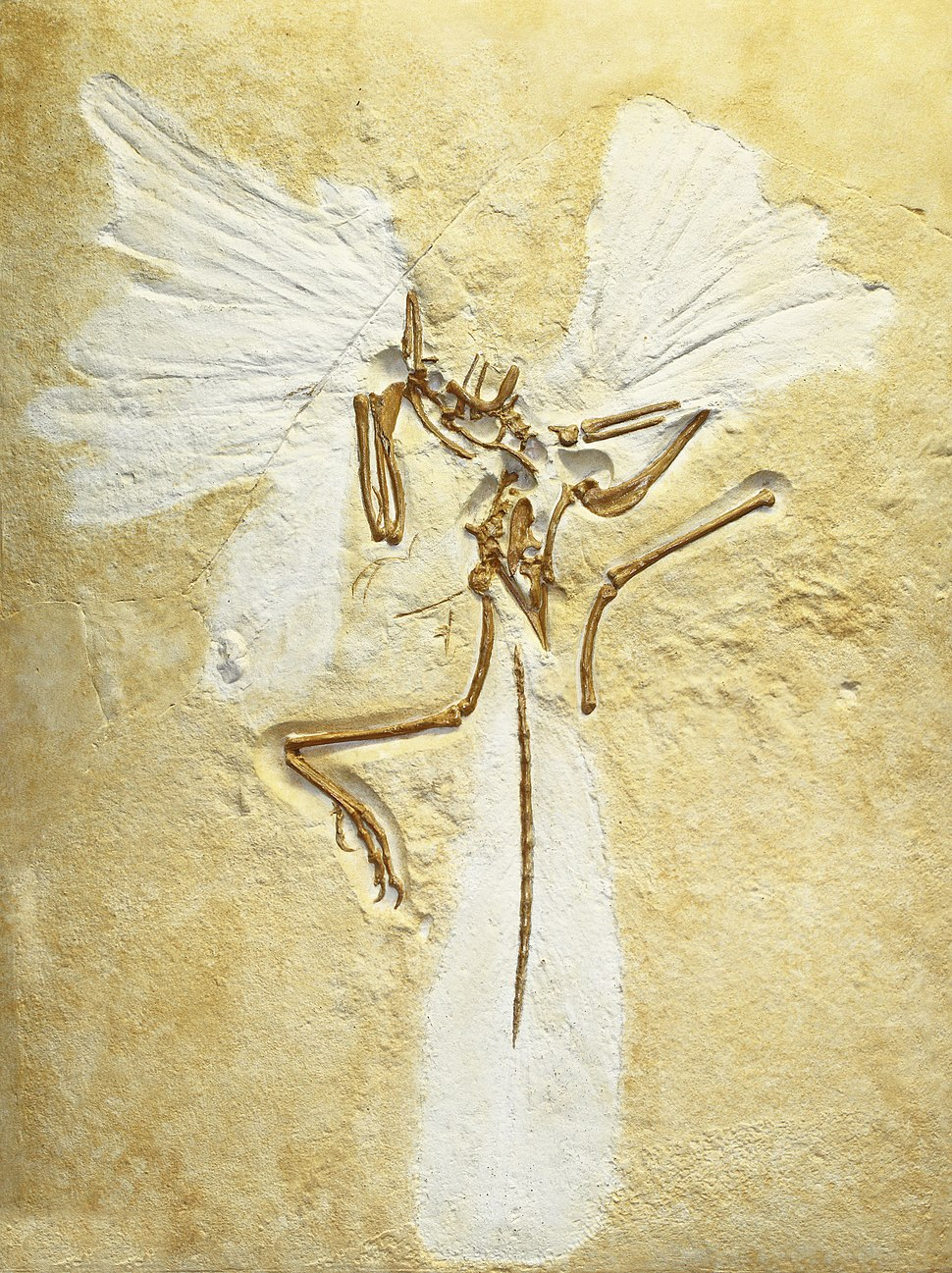 Archaeopteryx lithographica, replica of London specimen, Staatliches Museum f%C3%BCr Naturkunde Karlsruhe, Germany - 20100925