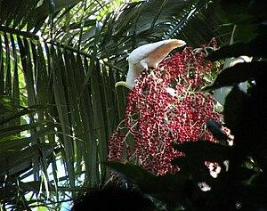 Archontophoenix alexandrae - Image: Archontopheonix alexandrae fruiting with Sulphur crested Cockatoos