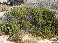 Arctostaphylos pungens 1.jpg