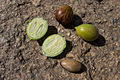 Argania spinosa Open fruit.jpg
