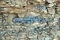 Argillaceous beds (Tymochtee Dolomite, Upper Silurian; South Bass Island, Lake Erie, Ohio, USA) 1 (48627854858).jpg