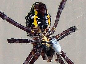 A female specimen of Argiope appensa wraps her prey in silk.